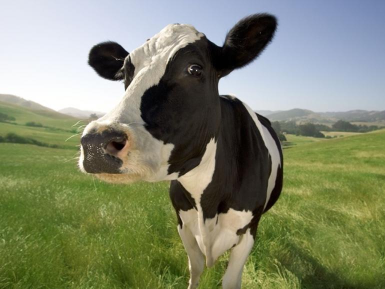 Holstein